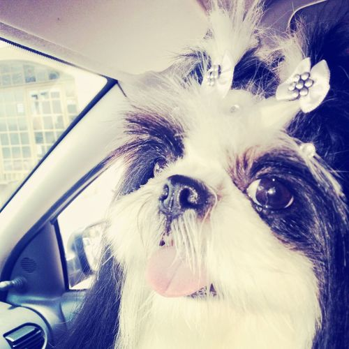 """But first let me take a selfie."". Pet Dog Dog Lovers Dog Selfie Dog Life Shi Tzu ShiTzuForever🐶 Shitzu Shitzulove Shitzus"