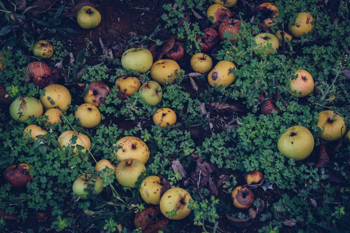 Apple Day Food Food And Drink Food Waste Freshness Fruit Full Frame Grass Healthy Eating High Angle View Nature No People Outdoors