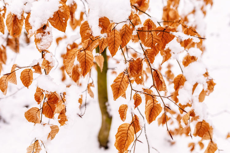 Beauty In Nature Plant No People Nature Winter Cold Temperature Close-up Day Snow Brown Focus On Foreground Tranquility Growth Dry Land Field Crop  White Color Outdoors Change Leaves Wilted Plant