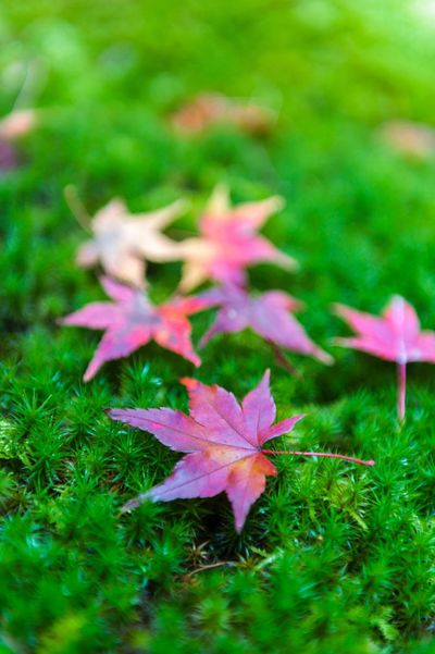 Yellow and red Japanese maple leaves fallen on green mossy ground during autumn Nature Growth Leaf Fragility Grass Beauty In Nature Green Color No People Flower Day Outdoors Close-up Freshness Flower Head Autumn Autumn Leaves Maple Leaf Japan Yellow Red Fall Maple Autumn Forest Grass