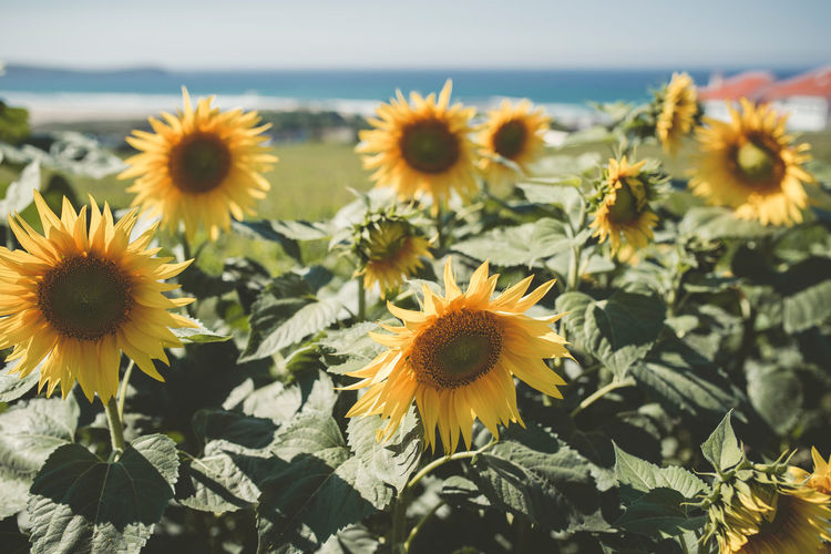 Close-Up Of Sunflowers Growing On Field During Sunny Day