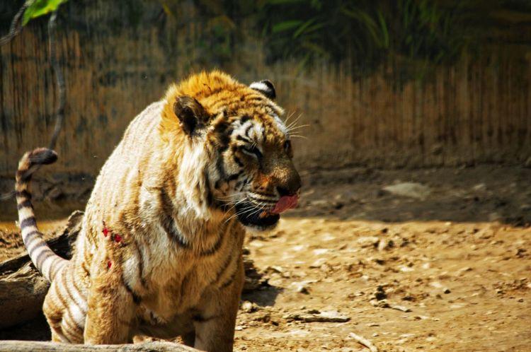 臺灣 新竹動物園 Zoo Animal Themes One Animal Animals In The Wild No People Mammal Animal Wildlife Big Cat Nature Outdoors Day Water Tiger