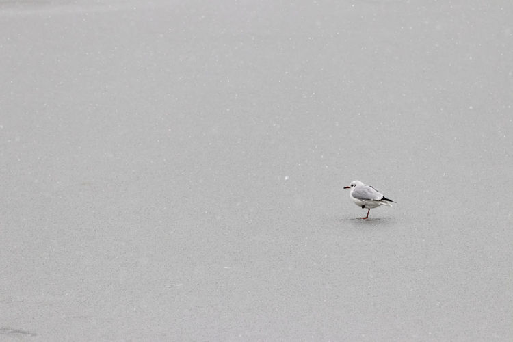 High angle view of seagull perching on snow
