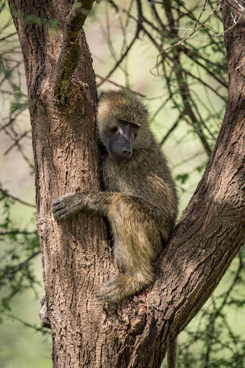 Nature Tanzania Travel Africa Animal Animal Themes Animal Wildlife Animals In The Wild Baboon Branch Day Focus On Foreground Land Mammal Nature No People Olive Baboon One Animal Outdoors Plant Relaxation Safari Sitting Tree Tree Trunk Trunk Vertebrate Wildlife