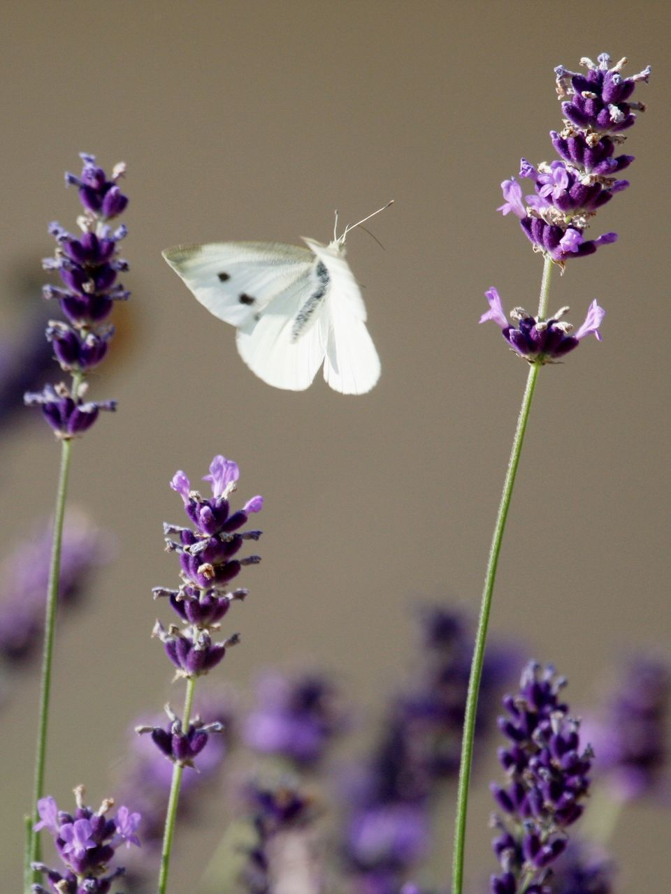 Close-Up Of Butterfly Flying Over Purple Flowers