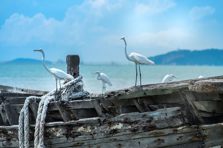 Egrets Perching On Old Wooden Boat At Beach