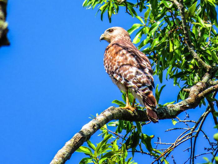 Wild hawk close-up on branch (April 28th) Florida Hawks Hawks Of Eyeem Hawk - Bird Bird Perching Bird Of Prey Tree Branch Blue Clear Sky Full Length Animal Themes Sky Hawk