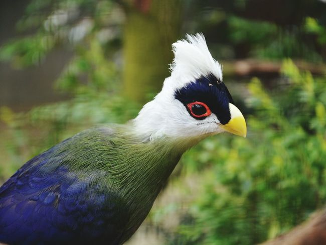 Exotic Birds Birds Color Portrait Colorful Exotic Animals Beauty In Nature Portrait Nature Wildlife Wildlife & Nature Depth Of Field Focus On Foreground Blurred Background Animals Animal Themes Animals In The Wild Feathers Mohican Curiosity