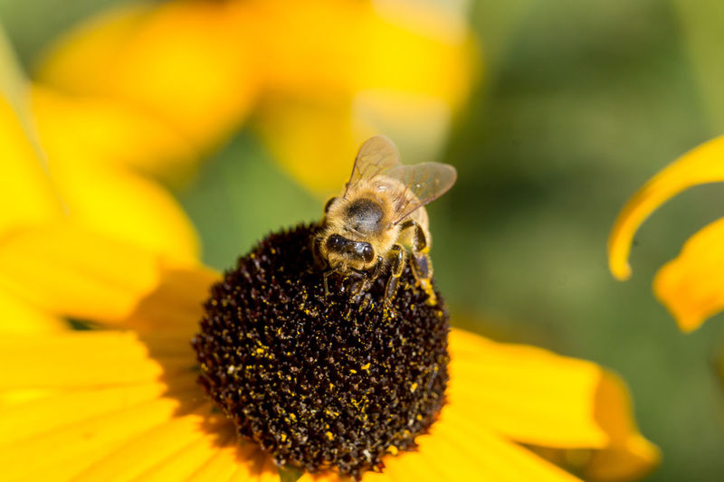 Bees Photography Macro_captures Makro Photography Pszczola Bee 🐝 Pszczoły Pszczółka Macro Insects Macro Photography Macrolove Macro_collection Macro Beauty In Nature No People Focus On Foreground Bee Day Nature Animal Themes Animals In The Wild Macrophotography Macro_captures Insect Animal Wildlife Yellow