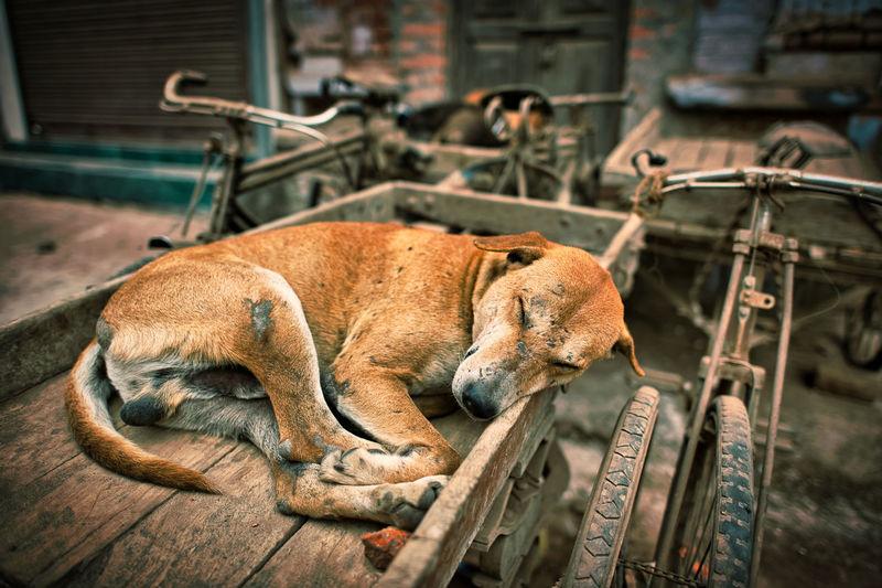 Dog resting on pedicab
