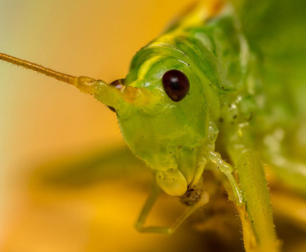 Grasshopper Raynox Bug Wildlife Nature Outdoors Garden Focusstacking Macrophotography Closeup Portrait Looking At Camera Insect Macro Close-up