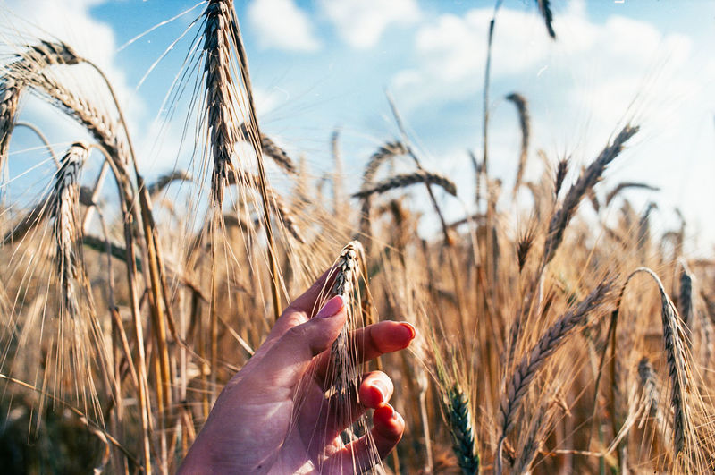 Hand holding wheat growing on field against sky