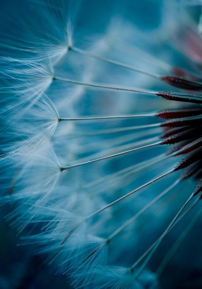 dandelion flower plant Dandelion Flower Plant Seed Garden Nature Flora Floral Beauty In Nature Beautiful Abstract Textured  Backgrounds Wallpaper Fragility Freshness Springtime Spring Vulnerability  Flowering Plant Growth