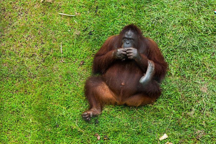 Gorilla sitting on grass