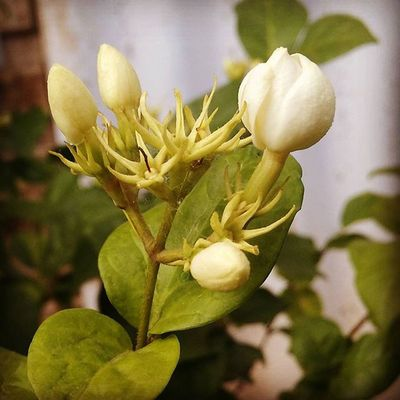 Flower Flowers Jasmine Jasmin Travel Ontheroad Coimbatore Beautiful Loveit Takeapicture