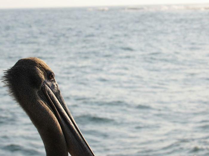 Close-up of pelican in sea