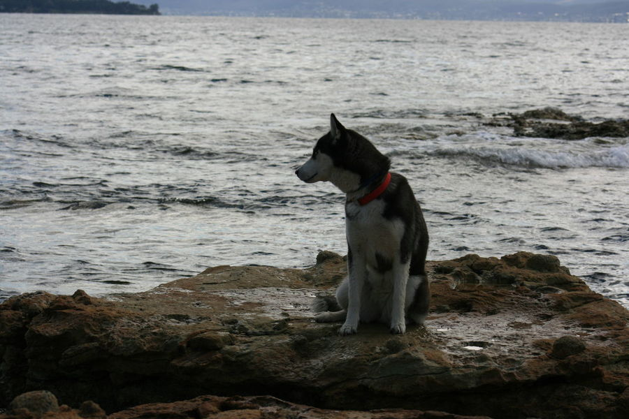 Animal Themes Beach Beauty In Nature Day Dog Domestic Animals Full Length Mammal Nature No People One Animal Outdoors Pets Rock Rock - Object Sea Shore Siberian Husky Standing Tranquil Scene Water