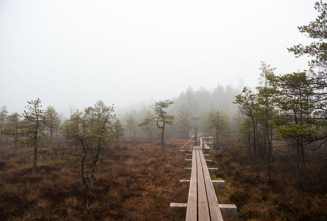 Morning in the Kemeri National Park. Latvia Latvia Marsh Misty National Park Nature Swamp Wetland Bog Countryside Fog Foggy Forest Kemeri Kemeri National Park Landscape Mist Moorland Moss Nobody Northern Europe Outdoors Pine Trees Walkway Wasteland Wooden Boardwalk