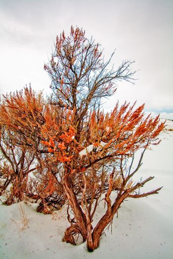 Yellowstone Shrub in Winter Snow Winter Plant Tree Sky Nature Growth No People Beauty In Nature Day Tranquility Branch Outdoors Low Angle View Cloud - Sky Scenics - Nature Land Bare Tree Close-up