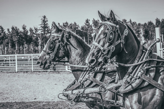 Alberta, Canada Animal Themes Attraction Beautiful Animals  Chuckwagon Racing Close-up Day Domestic Animals Fairground Harness Horse Horse Cart Horse Racing Horses Magestic Animal Mammal No People Outdoors Race Race Horse Rodeo Sky Strength The Week On EyeEm Tree