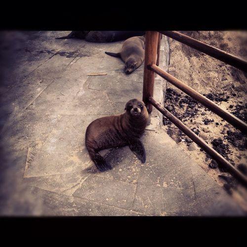 #babysealion #galapagosislands