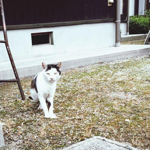 Cat ざんばら頭 ねこ ねこ 猫