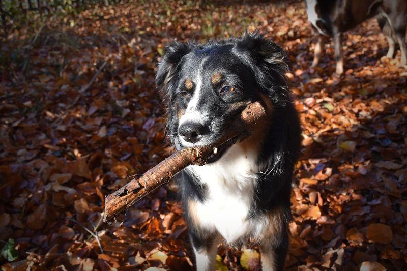 Portrait of collie dog