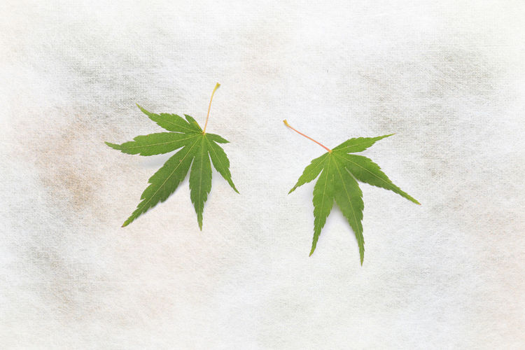 Japanese green maple leaf on traditional paper EyeEm Nature Lover EyeEmNewHere Japan Japanese  Alternative Medicine Close-up Day Freshness Green Color Growth Herb Indoors  Leaf Maple Maple Leaf Nature No People Paper Plant Traditional White Background