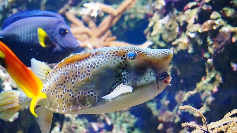 Heute gibt's mal ein Küsschen 🤗🐠🐟 Happy Friday! Underwater Kofferfisch 🐟 Sea Life Animal Wildlife One Animal Swimming Side View Close-up UnderSea Aquarium Animal Themes Water Beautiful Nature Funny Faces FUNNY ANIMALS FunnyMoments  Indoors  Beliebte Fotos Tadaa Community Ladyphotographerofthemonth Zoo Animals  Visiting