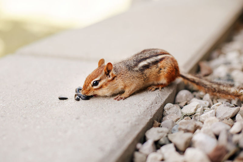 Cute small striped brown chipmunk eating sunflower seeds. yellow ground squirrel