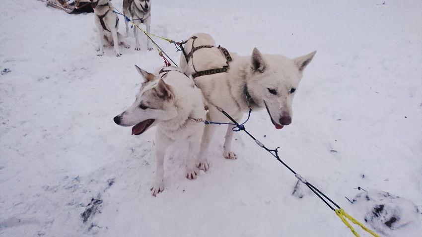 Sledding Lapland, Finland Husky EyeEm Selects Snow Dog Winter Animal Mammal Cold Temperature Sled Dog Animal Themes Outdoors No People Day Portrait Nature Animal Wildlife