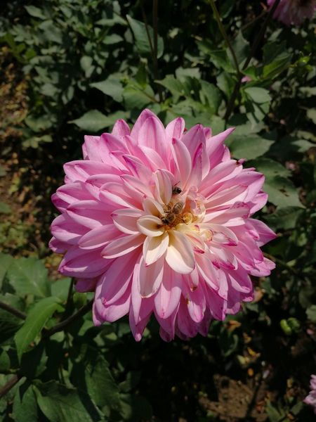 Bee 🐝 Flower Petal Flower Head Plant Nature Pink Color Beauty In Nature Fragility Day Growth No People Close-up Outdoors Freshness Zinnia