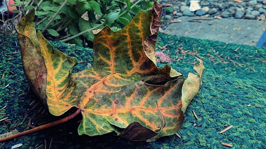 Beginning of Autumn Nature Leaf Outdoors Close-up Eyeem Leaf Collection Tree Veins In Leaves Intricate Design Leaf Veins Big Leaf Maple Big Leaf Maple Leaf EyeEm Nature Lover Green Color Beauty In Nature The Week On EyeEm Yellow Paint The Town Yellow Freshness