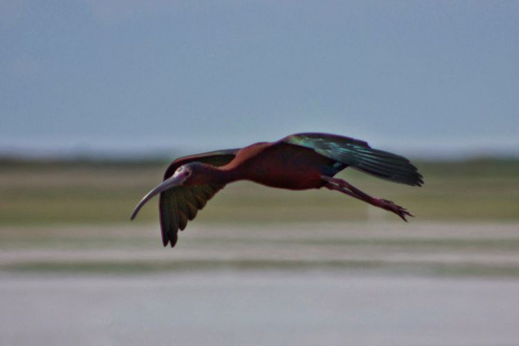 This guy was flying along side us right outside my window! As I was snapping photos I said lets race and he sped up from 25 mph to 35 mph 😄 Bird Inflight Wings Motion Ibis Glossy Ibis Nature