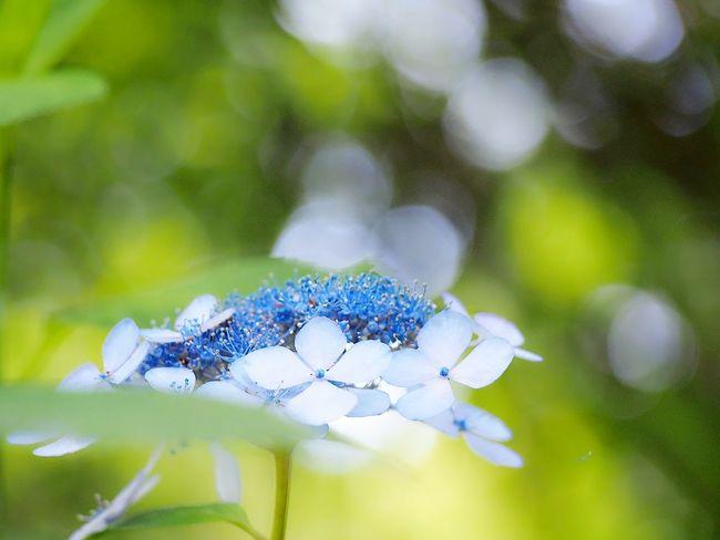 キラキラの世界に魔法をかけられて… 山紫陽花 あじさい 日だまり Flower Collection EyeEm Nature Lover EyeEm Best Shots Green Nature My Point Of View Beauty In Nature EyeEm Gallery Eyemphotography EyeEm Best Shots - Nature