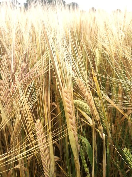 Crop Agriculture Growth Field Cereal Plant Crop  Wheat Nature Farm Outdoors Tranquility Ear Of Wheat Day Tranquil Scene Rural Scene Grass No People Plant Beauty In Nature Landscape