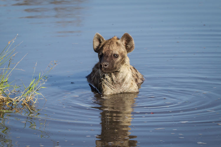 Portrait of lion swimming in lake