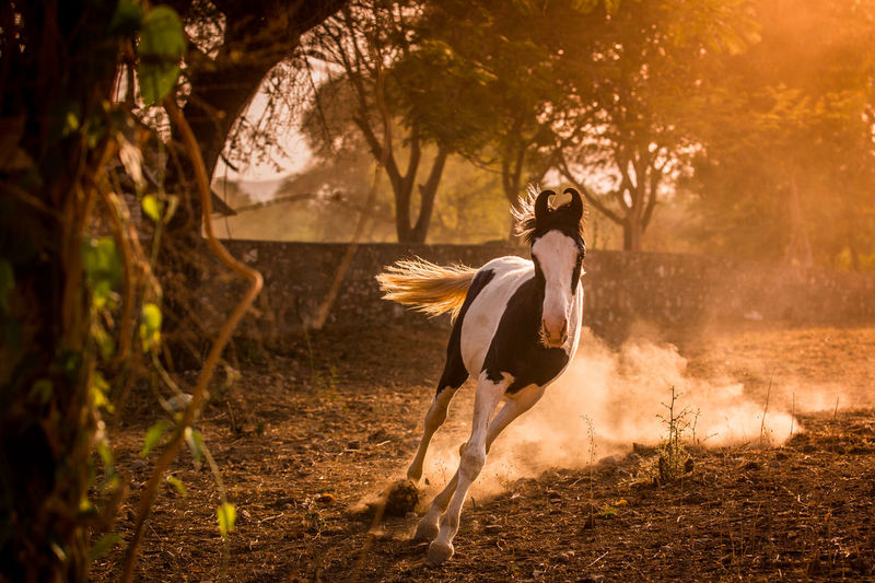 Evening Light India Indian Mare Running Running Horse Animal Animal Themes Domestic Animals Dust Evening Filly Horse Indian Horse Land Marwari Motion Nature No People One Animal Outdoors Piebald Running Tree Young Horse #FREIHEITBERLIN The Great Outdoors - 2018 EyeEm Awards The Traveler - 2018 EyeEm Awards The Photojournalist - 2018 EyeEm Awards