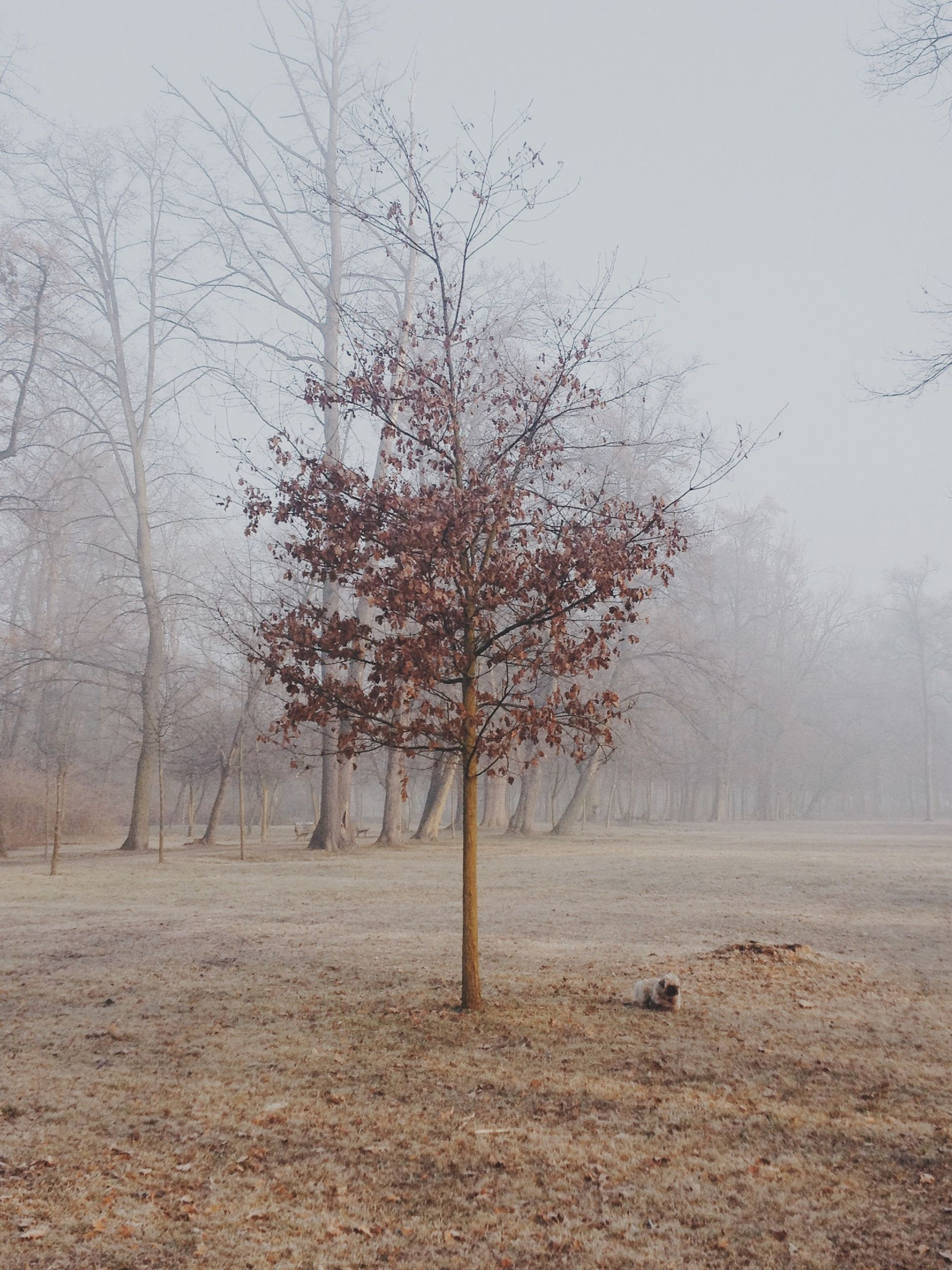 tree, fog, bare tree, tranquility, foggy, tranquil scene, landscape, weather, nature, field, season, scenics, beauty in nature, branch, autumn, animal themes, non-urban scene, tree trunk, day