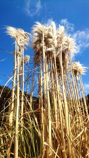 かやぶきの里② Kyoto,japan かやぶきの里 Kayabuki Cereal Plant Rural Scene Agriculture Clear Sky Sky Close-up Landscape Plant Growing