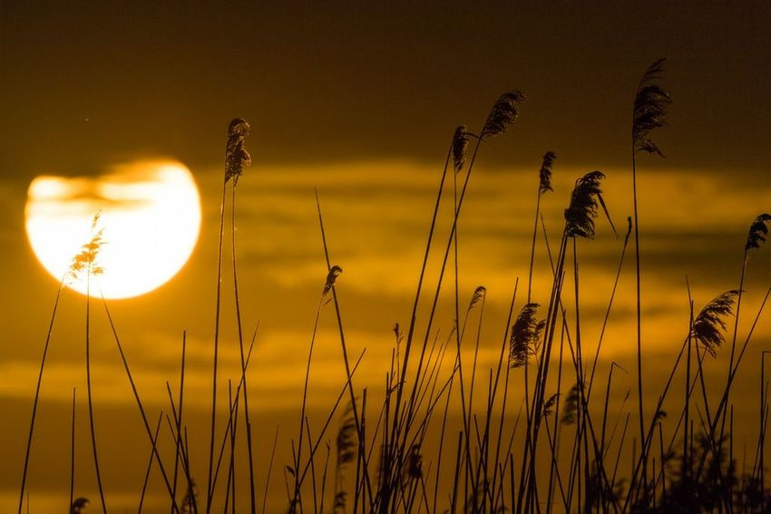 Sunset Sun Nature Silhouette Sky Outdoors Scenics Plant Sunlight Tranquility Tranquil Scene Beauty In Nature Summer No People Growth Gold Colored Horizon Yellow Grass Delta Dunarii Sony Travel Destinations Idyllic Danube River Mila 23