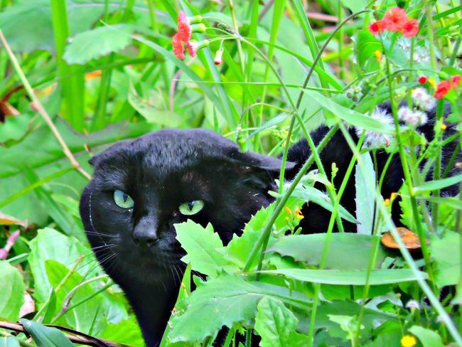 Goto Gato😽 Gatos 😍 Gatos😻 Gatosfelizes Gatosnegros Gatos Fofos GatoNegro Olharfelino Felinos Monstercat Blak Cat