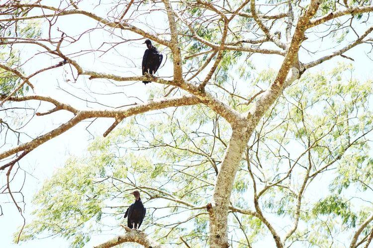 aves urubus