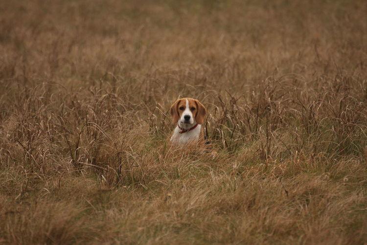 #beagle Animal