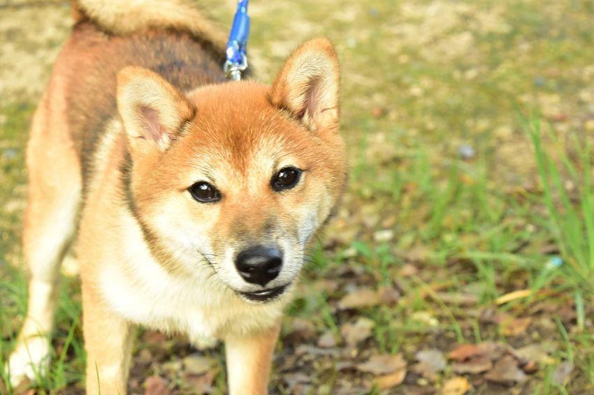 Dog Doglover Shiba Inu Shiba 柴犬 Shibainu Shiba Inu LOVE Shibastagram Shiba Puppy Dogs Dog Love Dog❤ Dogs Of EyeEm Dogstagram DogLove Cute Cute♡ Cute Dog  お散歩Photo Nikon D7200 NIKKOR 18-300mm トンボを撮りに行ったら出会った子(*^^*)あまりに可愛かったのでお願いしたら撮らせてくれた 柴ママさんありがとうございました o(≧▽≦)o