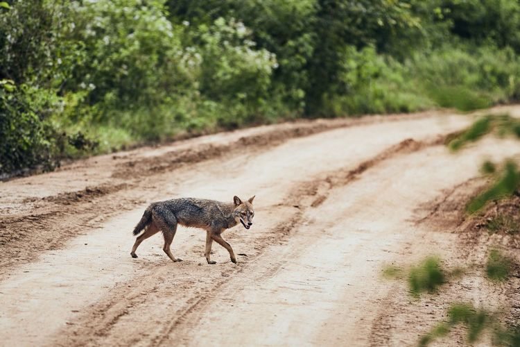 Full length of jackal walking on dirt road in forest