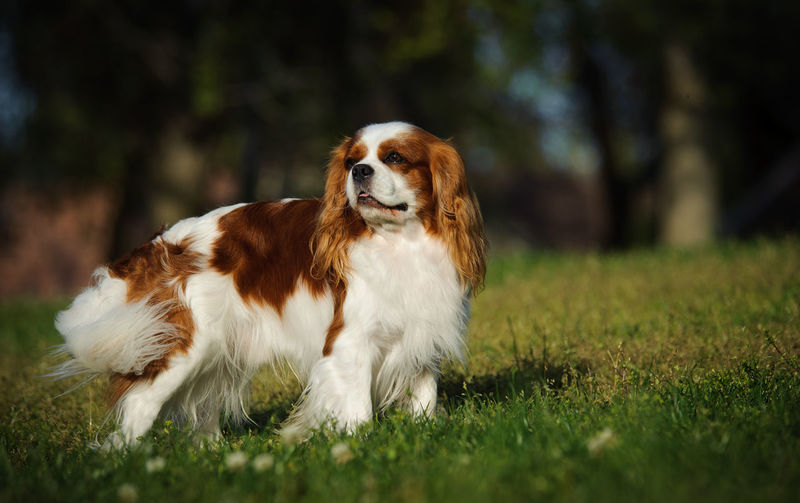 Close-up of cavalier king charles spaniel resting on field
