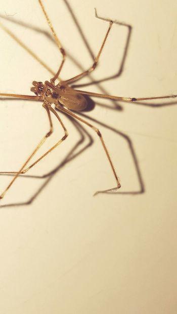 Animal Eight Legs Little Animal Spider Nature Crawl Long Legs Thin Legs