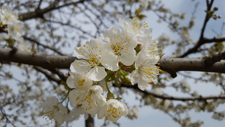Flower Fragility Freshness Tree Branch Cherry Blossom White Color Beauty In Nature Growth Cherry Tree Springtime Focus On Foreground Twig Fruit Tree Petal Orchard Close-up Blossom Apple Tree Apple Blossom