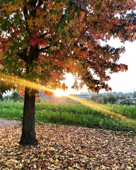 Tree Autumn Leaf Nature Beauty In Nature Sunlight Outdoors Sky Beauty In Nature Nature_perfection Ilovephotography